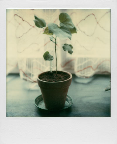 """Junge Pflanze"", Polaroid SX-70, Foto © Friedhelm Denkeler 1983"