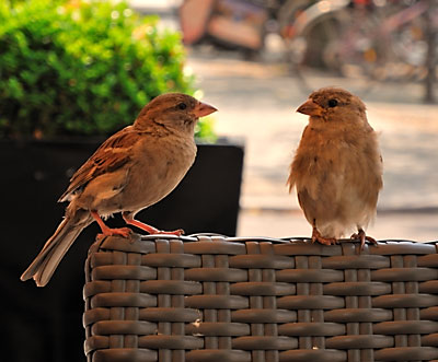 """Sparrows"", Foto © Friedhelm Denkeler 2012"