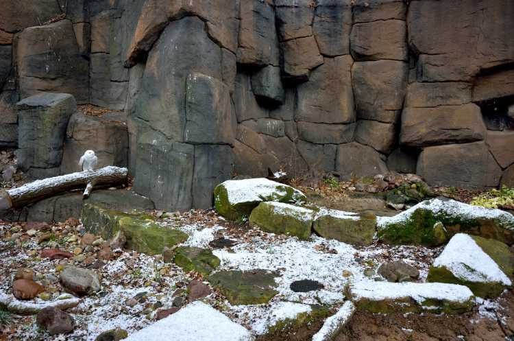 «Die Schneeeule freut sich über den schneereichen Berliner Winter«, Zoologischer Garten«, Berlin, Foto © Friedhelm Denkeler 2015