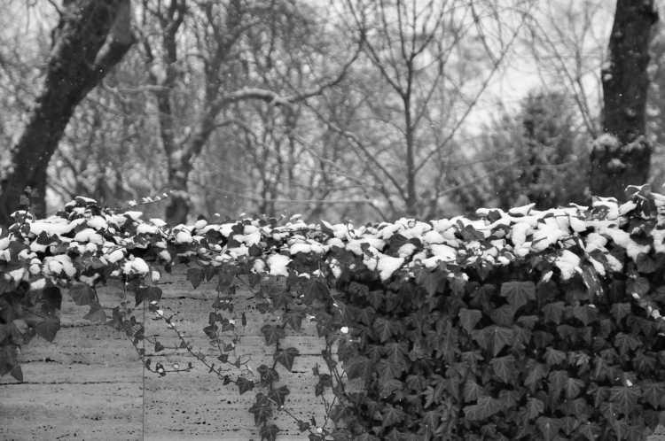 »Schnee, der auf Efeu fällt«, Foto © Friedhelm Denkeler 2014
